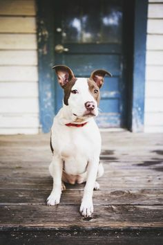 Beautiful pit bull,