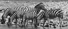 Zebra, Etosha Namibia