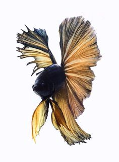 Beautiful Siamese Fighting Fish by Visarute Angkatavanich l #colors #fish