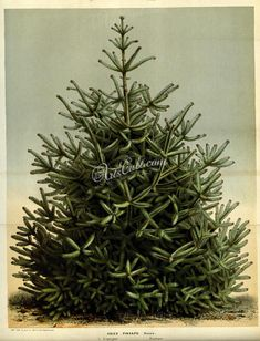 trees-00457  abies pinsapo Spanish Fir Christmas New Year