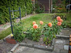 In unserem neuen Garten ein Glas Rotkäppchen Rose, das ist Belohnung und Idylle pur.