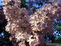 Flieder #flower #flieder #garden #nature