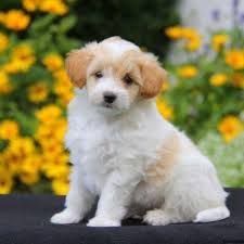 Image result for poodle mix