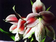 Photo Papillio amaryllis  by shirley smith on 500px