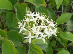 Svibovina, svib (Cornus sanguinea L.) - dogwood - the fifth month of the year -  in Croatian svibanj - is named after dogwoods - mostly grown as hedges -that flourish in may