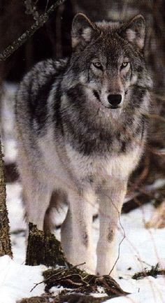 Canadian Grey Wolf or Timber Wolf  (Canis Lupus)