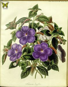 Cupid's bower, magic flower. Achimenes longiflora. Perennial plants produce 2 inch, violet-blue flowers summer to fall. Deep green leaves, marked red underneath. (1842) [S.A. Drake]   This image is in the public domain. Right click to download. Use as you choose.