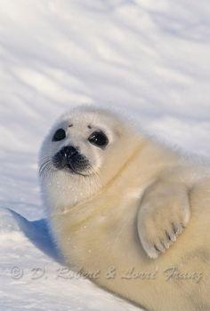 """Baby harp seal. """" Hey, how ya doin'"""