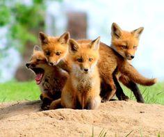 foxiess