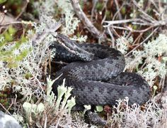 Kyy, käärme / Adder, snake Adder Snake, Reptiles, Nature Photography, Nature Pictures, Wildlife Photography