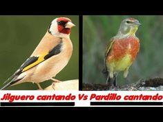 Live Aquarium Fish, Singing, Birds, Small Gardens, Garden, Animales, Canary Birds, Beautiful Birds, Naturaleza