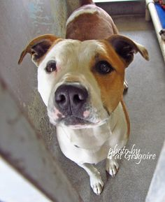 A4850572 I am a very friendly male white/brown pit bull mix. I came to the shelter as a stray on June 30. available 7/4/15 NOTE: Pit bulls are not kept as long as others so those dogs are always urgent!! Baldwin Park shelter https://www.facebook.com/photo.php?fbid=996248453720325&set=a.705235432821630&type=3&theater