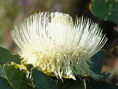 Protea nitida (Otherwise known as the Waboom protea) Dandelion, Cape, Flora, Decor Ideas, Plants, Mantle, Cabo, Dandelions, Plant