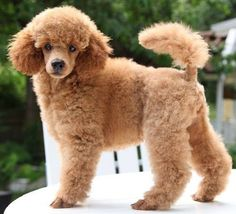 Beautiful Apricot Toy Poodle what should we name her???