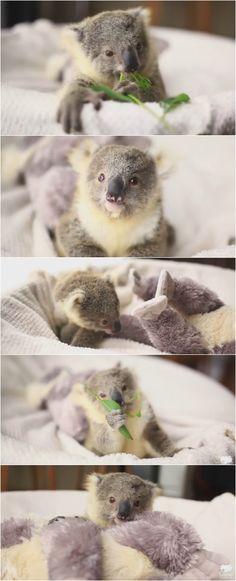 An orphaned koala joey named Imogen has a photoshoot inside a soft basket.