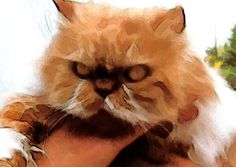 Persian Cat, Tio -- great markings and color