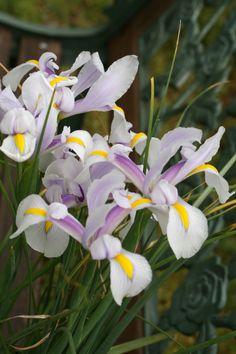 Iris Carmen by Brent and Becky Bulbs - Year of the Iris - National Garden Bureau