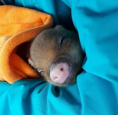 pet pig micro -- Click visit link for Tiny Pigs, Pet Pigs, Small Pigs, Mini Teacup Pigs, Happy Animals, Cute Animals, Animal Noses, Cute Piglets, Cute Little Things