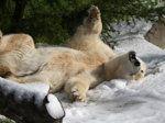 """Let it snow, Let it snow, Let it snow!""Polar bears frolicking in fresh snow"