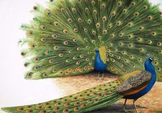 The Peacocks wallpaper mural is a detailed vintage artwork of two fanciful peacocks. Free US Shipping. Peacock Wallpaper, Peacock Wall Art, Peacock Painting, Peacock Drawing, Wallpaper Murals, Exotic Birds, Colorful Birds, Exotic Pets, Alouette