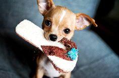 Toy Breeds Η επιλεκτική αναπαραγωγή σκύλων δε γίνεται μόνο για τη δημιουργία φυλών που έχουν συγκεκριμένη προσωπικότητα, αλλά και για λόγους αισθητικής. Οι toy φυλές είναι πολύ δημοφιλείς στις πιο…