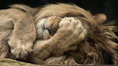 was such a great moment after spending hours observing this lion Happy Animals, Animals And Pets, Funny Animals, Cute Animals, Lion Pictures, Animal Pictures, Beautiful Creatures, Animals Beautiful, Big Cats