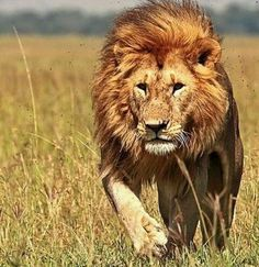 Seen a young male lion and two females while on a safari in Kenya Safari Animals, Animals And Pets, Cute Animals, Nature Animals, African Animals, African Safari, Beautiful Creatures, Animals Beautiful, Beautiful Lion