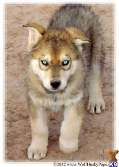 Wolf Husky Hybrid Puppies this is the back up to the german shepherd hybrid...i'll go for one of these too.