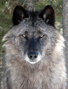 Picture by Grizzly and Wolf Discovery Center   This is Akela, a wolf at Grizzly and Wolf Discovery Center at 1 year old.