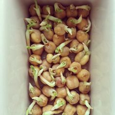 How to sprout chickpeas for planting.