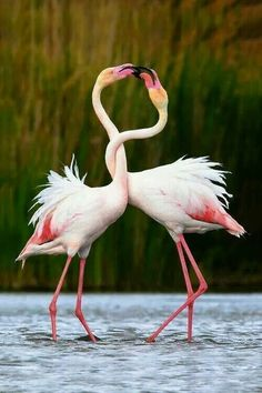 """Flamingos are large pink or red-colored wading birds known for their long legs. The word """"flamingo"""" comes from the Spanish and Latin word """"flamenco"""" which… Pretty Birds, Love Birds, Beautiful Birds, Animals Beautiful, Cute Animals, Romantic Animals, Baby Animals, Funny Animals, Birds 2"""