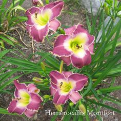 daylilies to consider - Lucid Moment