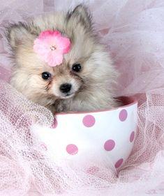 Pomeranian Puppies For Sale Teacup Pomeranians