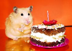 The Ark In Space: Unexpectedly Funny Things to do with Hamsters When You're Bored Baby Hamster, Hamster Care, Happy Birthday Animals, Animal Birthday, Cute Funny Animals, Cute Dogs, Cute Hamsters, Happy 1st Birthdays, Birthday Treats