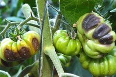 Mana este una dintre cele mai cumplite boli ale tomatelor. Este provocată de o ciupercă microscopică şi, în formele violente, poate distruge complet cultura de tomate, înainte să fi gustat o roşie coaptă. Manado, Permaculture, Avocado, Home And Garden, Organic, Stuffed Peppers, Vegetables, Gardening, Paradis