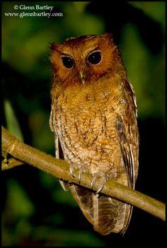 Rufescent Screech Owl (Megascops ingens). Photo by Glenn Bartley.