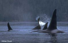 Northern Resident Orca Pod