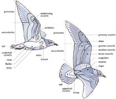 http://swartzentrover.com/cotor/Photos/Hiking/Birds/BirdPages/Anatomy/Anatomy.htm
