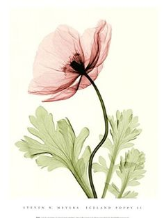 Iceland Poppy II (Med) by Steven N. Meyers Art Print, Size 12 x 16 inches