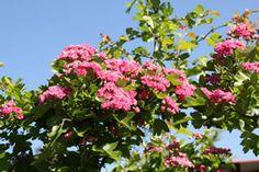 Rotdorn - Busch oder Baum - Sonne Blüte: Mai/ Juni