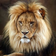 Handsome, no wonder they call him King of the Jungle #lion