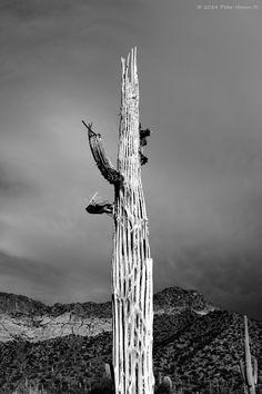 Saguaro cactus skeleton at Usery Mountain Park. Mesa, Arizona.