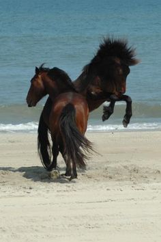 Horses on the beach in outer banks North Carolina