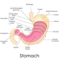 Stomach diagram | Digestive Diagrams | Pinterest | Rn programs