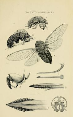 Homoptera, from Australian Insects, by W. Brooks Sydney, Homoptera is a deprecated order. Hemiptera are true bugs. Science Illustration, Nature Illustration, Botanical Illustration, Australian Insects, Insect Anatomy, The Zoo, Insect Species, Illustration Botanique, Insect Art