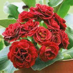 Primula Auricula 'Crimson Glow'