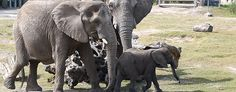 African_Elephant-Lowry Park Zoo, Tampa, Florida