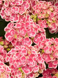 Buttons 'N Bows 'Monrey' Hydrangea has deep pink, mophead-type flowers edged in white. Use it in containers, woodland gardens or in the foreground of borders. It needs filtered sun, constantly moist soil and is hardy in zones 7 to Landscaping Shrubs, Hydrangea Landscaping, Garden Shrubs, Flowering Shrubs, Trees And Shrubs, Landscaping Ideas, Types Of Hydrangeas, Hydrangea Varieties, Hydrangea Care