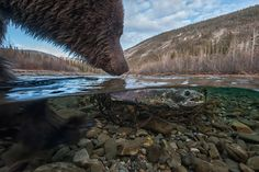 A female Chum Salmon washed up on some tree branches in the Fishing Branch River, providing an essay meal for this sow Grizzly and her cub. ...