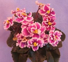 Robs Boondoggle - The Violet Barn - African Violets and More